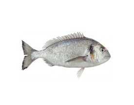 Fresh Gilt-head Seabream